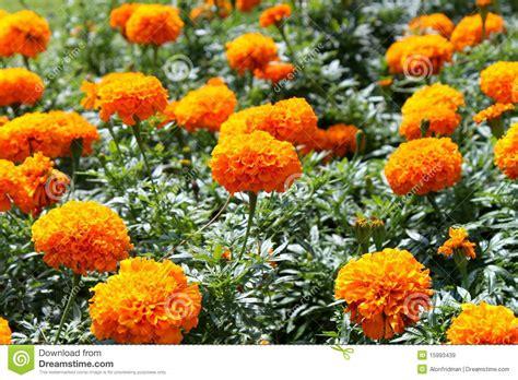 fiori arancioni nomi fiori arancioni immagine stock immagine di nave fiori