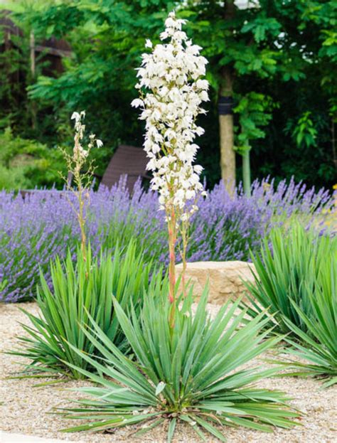 Green Home Design Tips by Yucca Filamentosa Adam S Needle