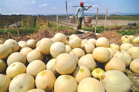 Paket Budidaya Melon paket pupuk budidaya melon rahasia budidaya melon dengan