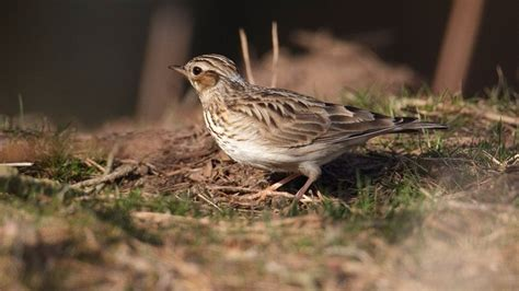 the rspb browse bird families larks