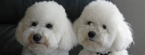 Bichon Frise Also Search For Bichon Frise Breed Guide Learn About The Bichon Frise