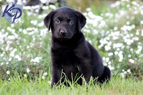 black lab puppies for sale in pa 54 best black lab puppies images on black labrador retriever black lab