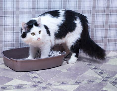 cassetta gatto la lettiera gatto puzza come eliminare l odore dalla