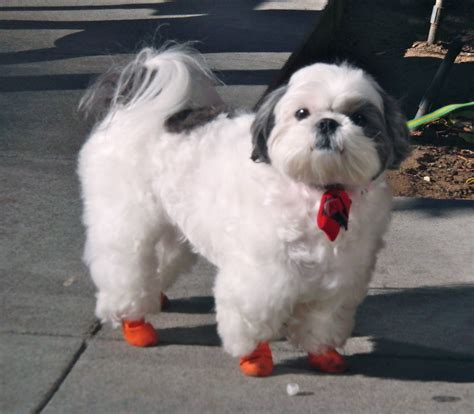 shih tzu boots with a singable happy feeling what a wonderful way to start the dogs of san