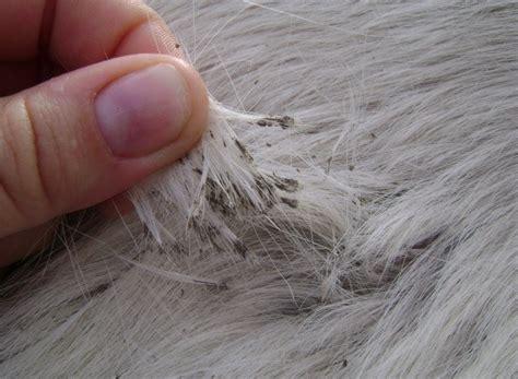 creval perta la teigne