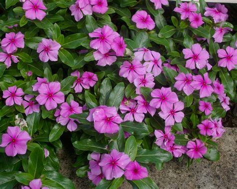 Pots For Sale by Gardensonline Catharanthus Roseus Syn Lochnera Rosae