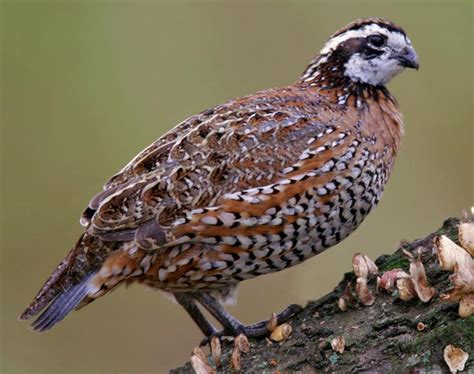northern bobwhite songs and calls larkwire