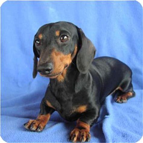 puppies for adoption tucson augie doggie adopted puppy tucson az dachshund
