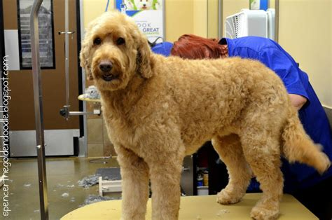 goldendoodle puppy teething spencer the goldendoodle per your pet at petsmart