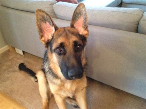 german shepherd ears why do german shepherds ears go back photo