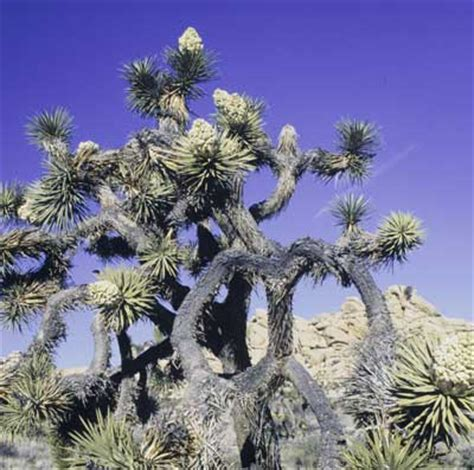 what is the significance of tree image gallery joshua tree meaning