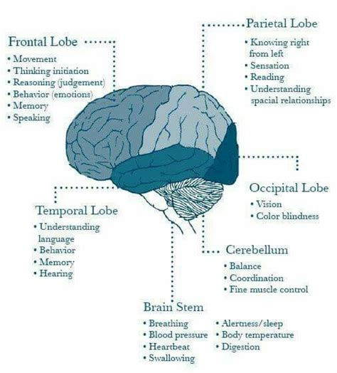 sections and functions of the brain 17 best ideas about brain sections on pinterest brain