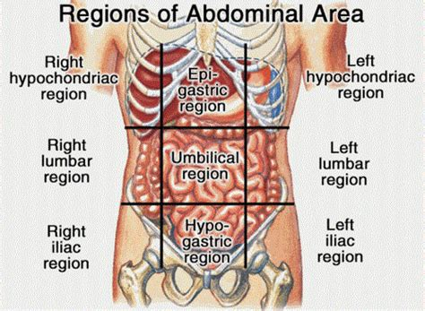 Sections Of Abdomen by Organs In 9 Abdomen Regions New Health Guide