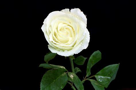 imagenes de rosas blancas gratis white rose wallpapers images photos pictures backgrounds
