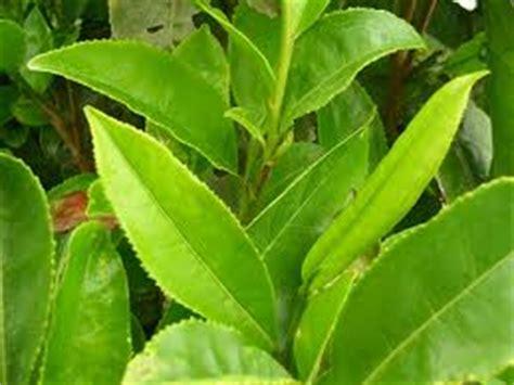 Teh Hijau Istimewa Cap Pucuk manfaat daun teh teh gurah h djawadi