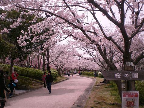 wallpaper bunga sakura di jepang gambar bunga sakura jalanan di jepang pernik dunia