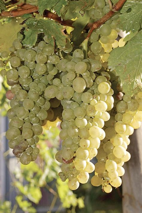 Malmsey Madeira wine grape - Madeira Wine and Dine Justino's