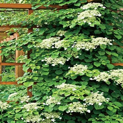 climbing plants sun climbing hydrangea vine my of earth