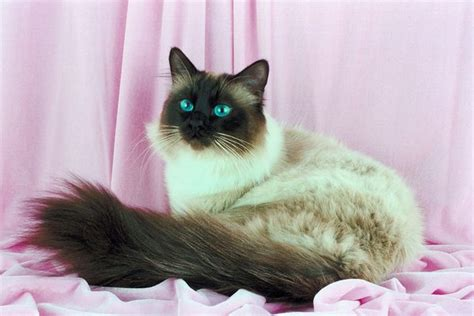 What Is the Personality of a Himalayan Cat?   Pets
