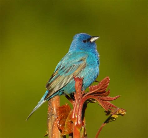 the indigo bunting new in the shop 2013 illustrated calendar may 2013 our changing seasons