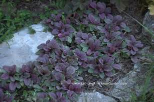 fast spreading ground cover plants http www growingthehomegarden com