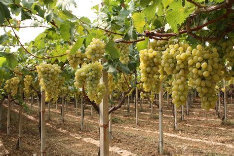 globe uva da tavola uva da tavola il punto sulla coltivazione in sardegna