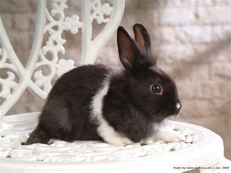 grey rabbit wallpaper baby lionhead bunnies studio photography of bunny