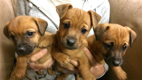 beautiful puppies norfolk x norjack beautiful puppies pershore worcestershire pets4homes