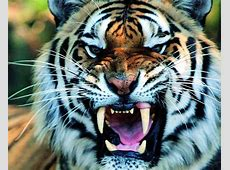 1269 Tiger HD Wallpapers | Background Images - Wallpaper Abyss Growling Shouting