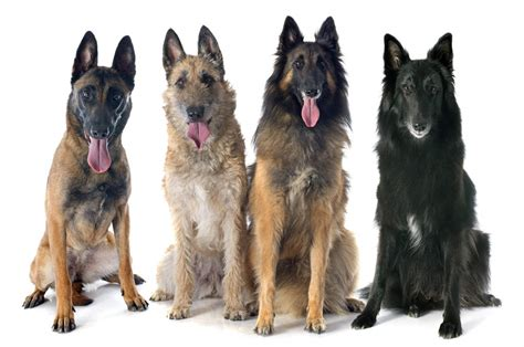 belgian dogs belgian shepherd malinois dogs breed information omlet