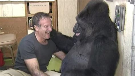 Koko Indana koko the gorilla somber after learning of robin williams
