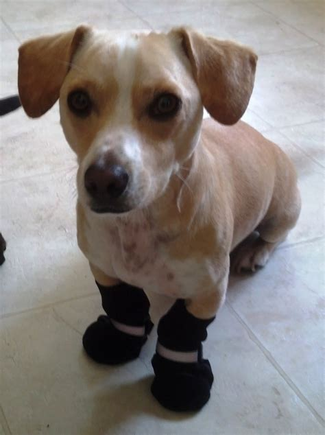 dogs wearing shoes when dogs need to wear shoes yellow