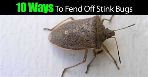 how to get rid of stink bugs in my house 10 ways to get rid of stink bugs how to make your home an unfriendly target