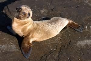 File gal 225 pagos baby sea lion jpg wikimedia commons