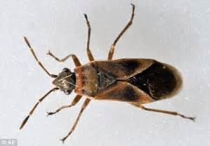 can bed bugs be black can pesticides kill bed bug eggs how to rid ants from