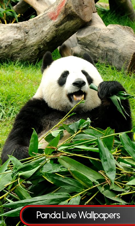 wallpaper android panda free panda live wallpapers free android app android freeware