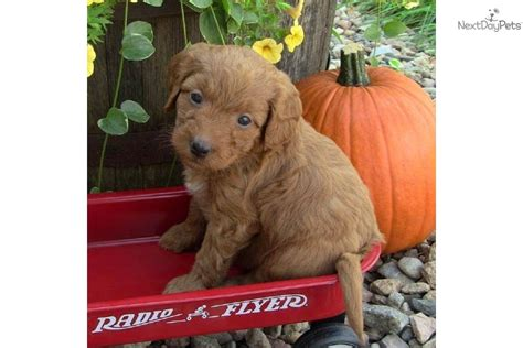 mini goldendoodles south dakota goldendoodle for sale for 1 200 near sioux falls se sd