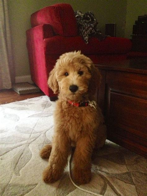 mini goldendoodle haircuts image result for goldendoodle teddy cut