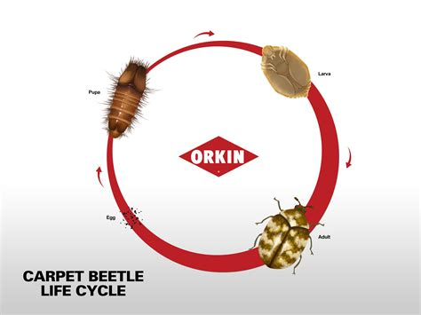 Carpet Moth Life Cycle life cycle of carpet beetle phases amp reproduction of