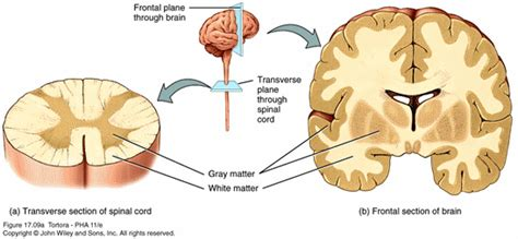 grey matter lab practical 2 anatomy physiology 403 with raoof at