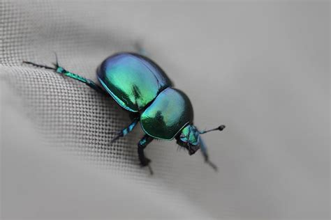 a dung beetle story a moment of science indiana public