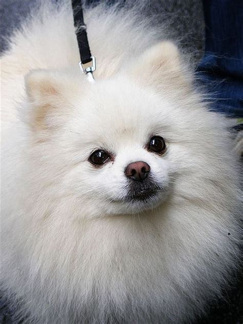 can i put coconut on my s fur 25 best ideas about white pomeranian puppies on white pomeranian
