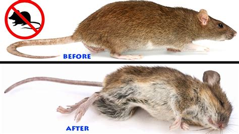 how to get rid of mice in your house how to get rid of mice in the house youtube