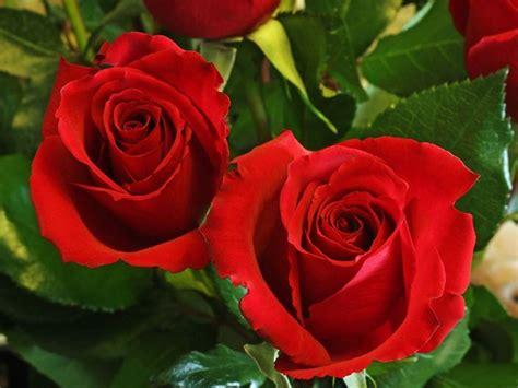 rosa fiore immagini immagini immagini della