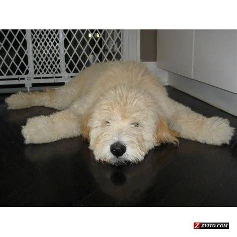 goldendoodle puppy feeding schedule de 25 bedste id 233 er inden for goldendoodles p 229