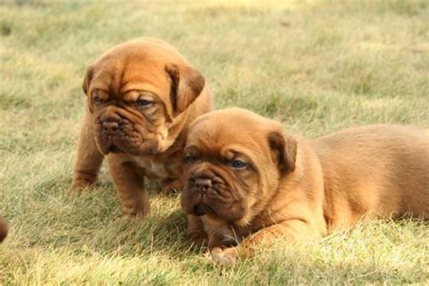 mastiff puppy for sale mastiff puppies for sale bazar
