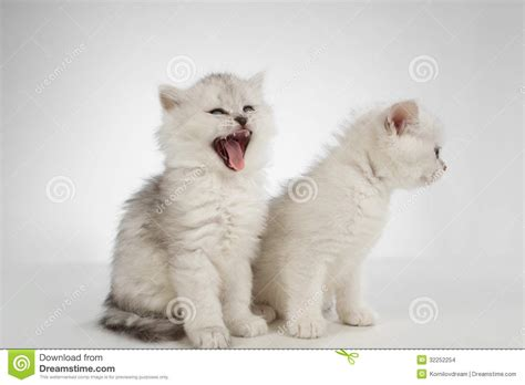 white pussy cat persian pussy cat stock images image 32252254