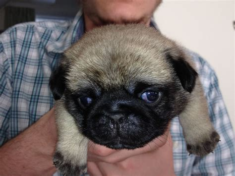 pug puppie for sale pug puppies for sale ashford kent pets4homes