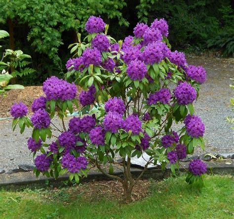 Schneiden Rhododendron by Rhododendron Im Garten Tipps Zum Pflanzen Pflegen