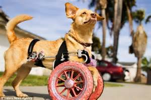 wheelchair for front legs disabled rescue who uses pink wheelchair to go for walks daily mail